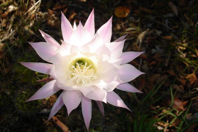 Echinopsis cactus by BGai
