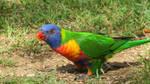 Rainbow Lorikeet 19-2-17