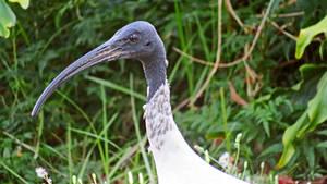 Australian White Ibis closer by BGai