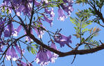 Glowing Jacaranda Bells