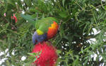 Rainbow Lorikeet with Bottle Brush flowers by BGai