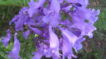 Jacaranda flowers by BGai