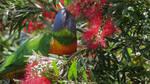 Rainbow Lorikeet 17-10-21 by BGai