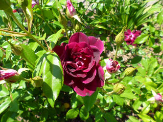 Purple Rose by InkTheEchidna