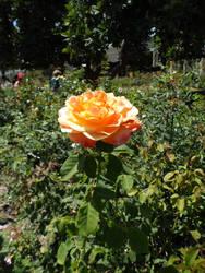 Orange Rose by InkTheEchidna