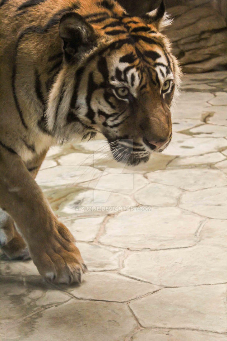 Tiger by Zuzije