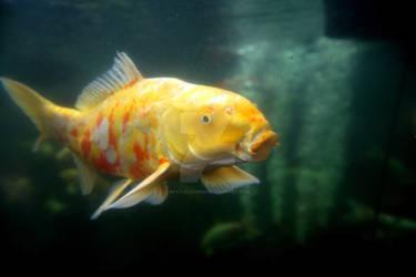 Hello, Mr. Koi Fish by Beatlelover9