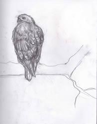 Hawk Sketch by animalsketchsisfun