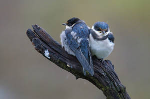 White Throated Swallows - SA by AshleyWass