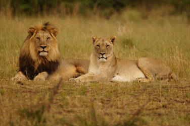 Lion and Lioness by AshleyWass