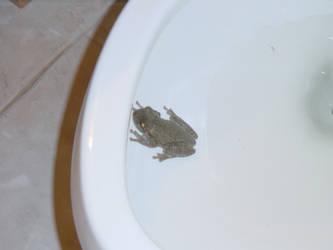 Frog in toliet