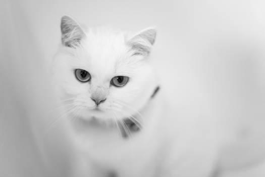 White Cat White Back