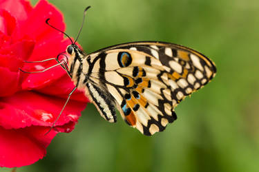 Beautiful Yellow Colorful Butterfly