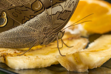 Brown Beautiful Butterfly Eatin Some Fruit