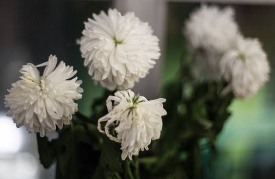 Withered Chrysanthemums