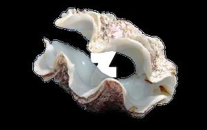 Sea Clam PNG-P2U by AKoukis