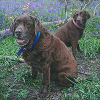 2 Choc Labs in a Bluebell Wood