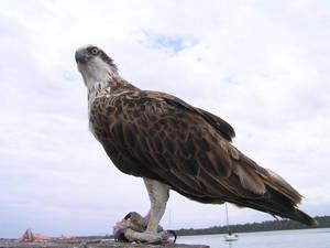 Sea Eagle1