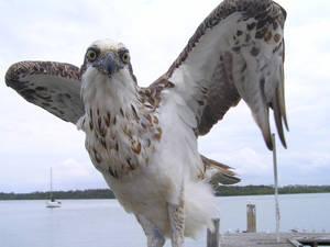 Sea Eagle2