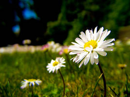 Three Little Daisies by Silverlight513