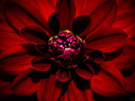 Red Dahlia 2 by Silverlight513