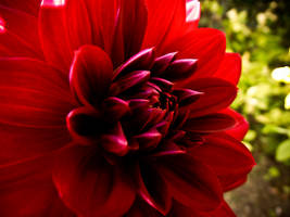 Red Dahlia 3 by Silverlight513