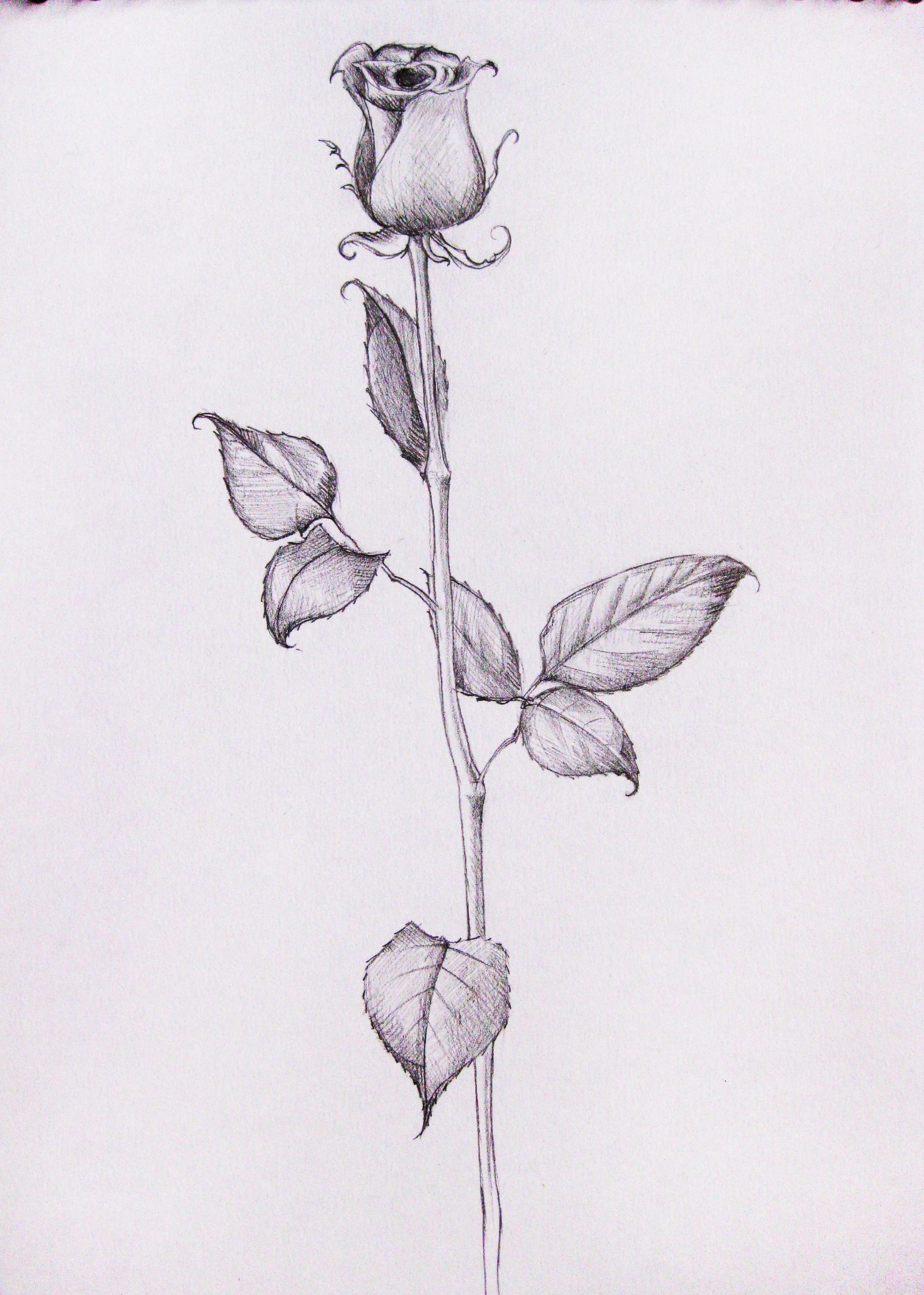single rose by ocularreverie on deviantart