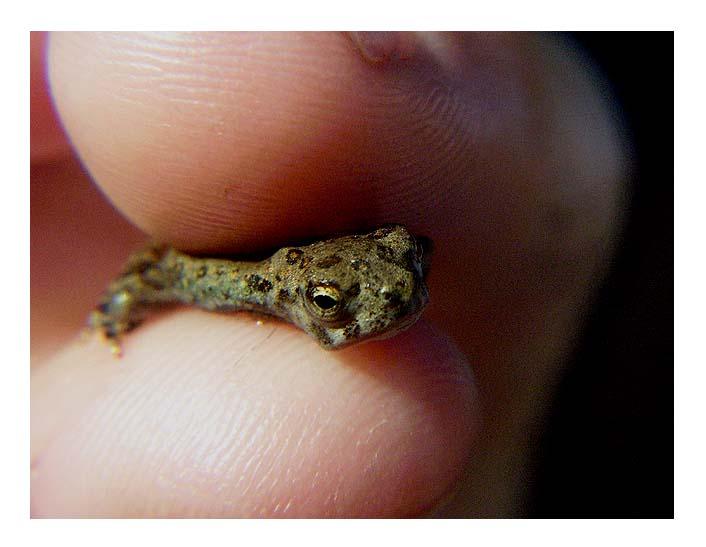 Mini frog. by xM0nkeyx