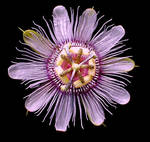Passionflower by mysticalis
