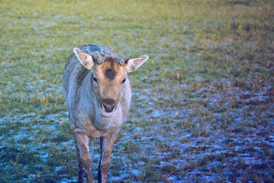 Deer by shiningsilverskies