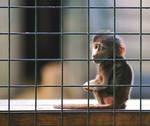 Baby Monkey at Edinburgh Zoo by kharashov