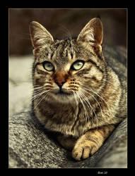 The cat by ronxoane