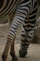 Zebra by MudgetMakes