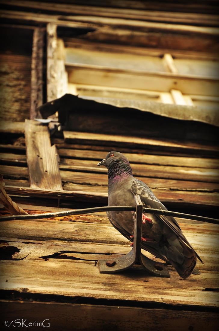 Pigeon. by SKerimG
