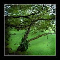 BRANCHES OVER POND