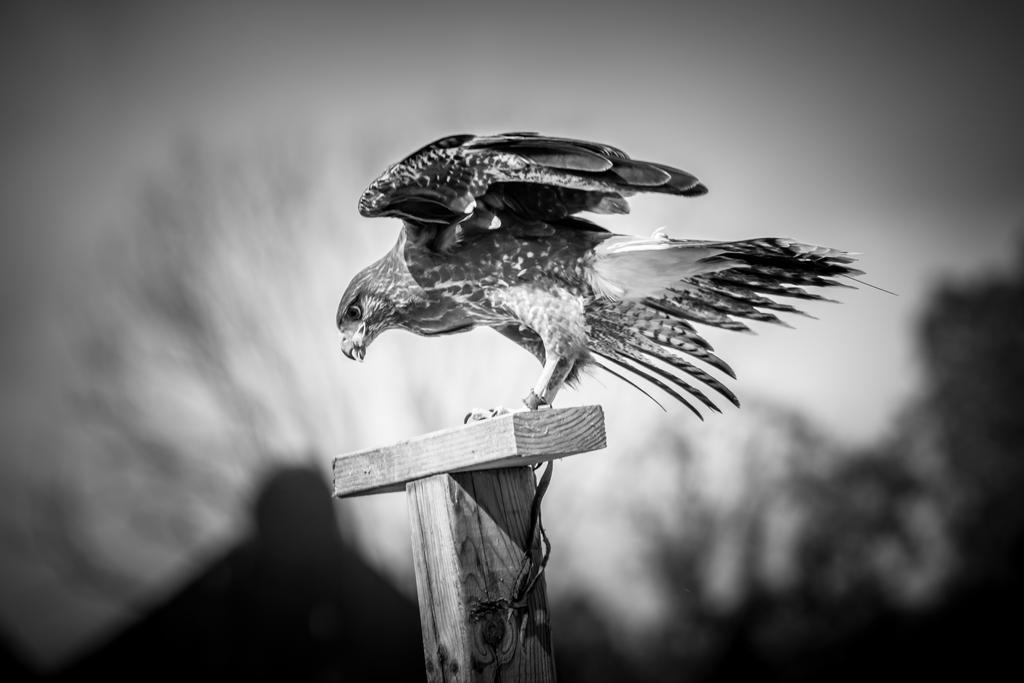 Harris's Hawk by Moonfyire101
