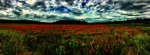 Coquelicots2 by jenyvess