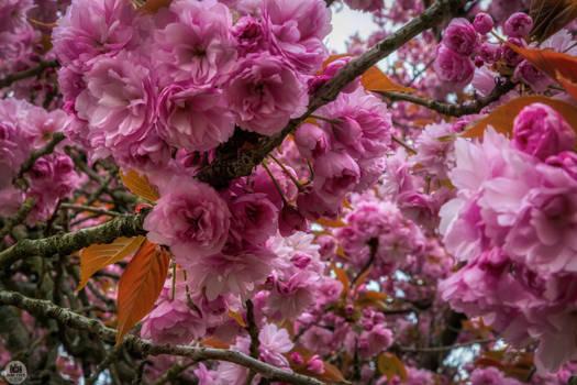 Cerisiers 6