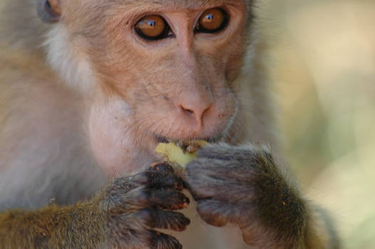 monkey with bananna pic 1