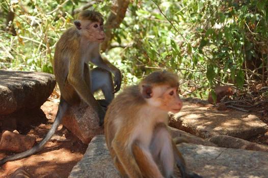 two darned monkeys