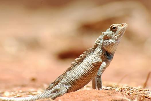 the Lizard on Siggiria