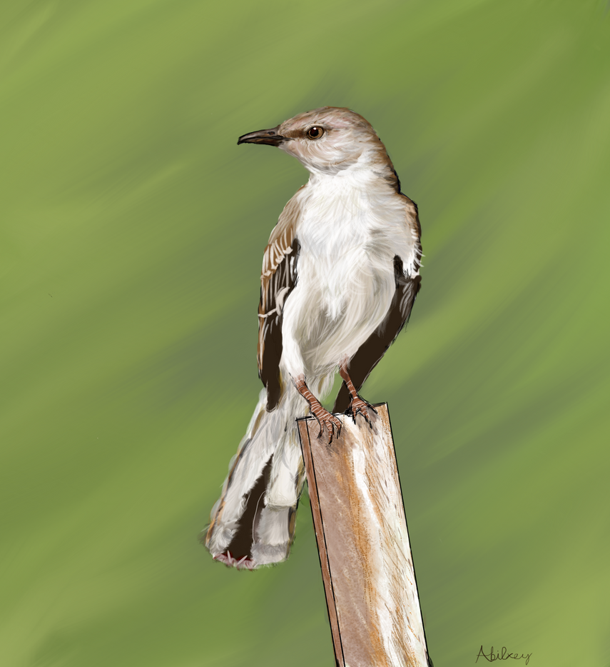 Northern Mockingbird by TheInsanityOfTheSane