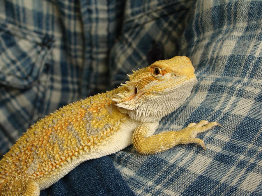 Little yellow dragon
