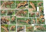 Stock fox on the walk