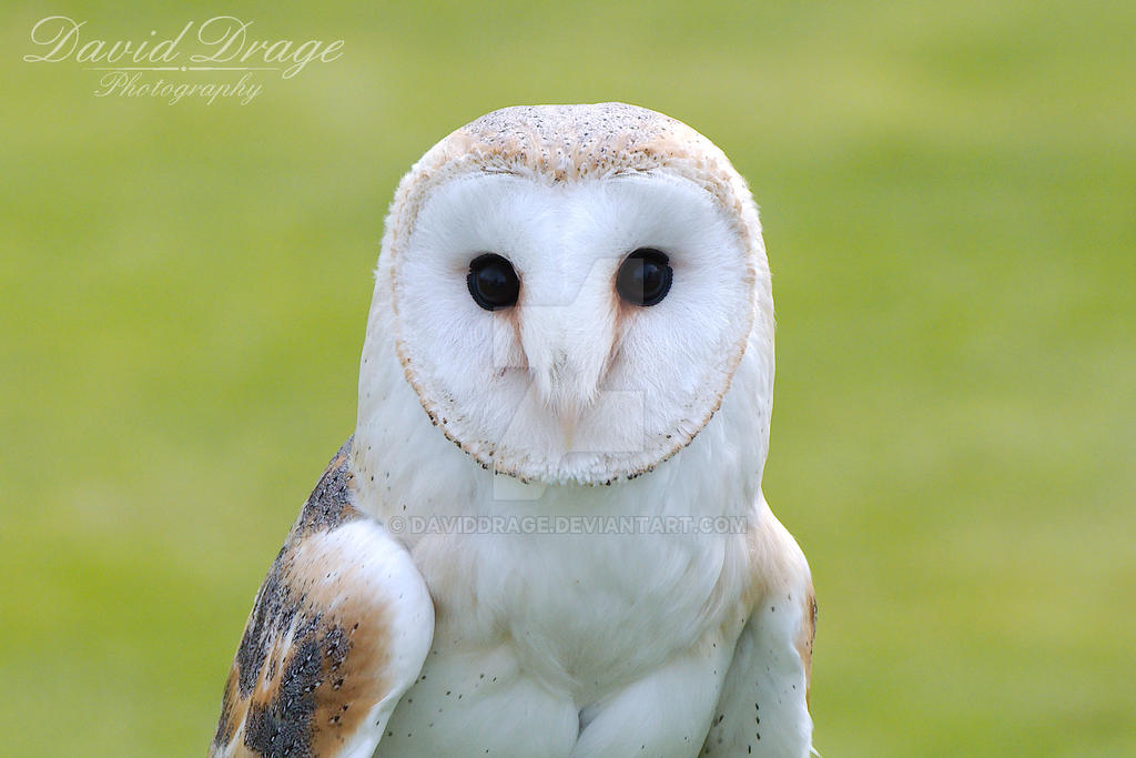 Barn Owl by daviddrage