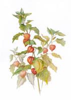 winter cherry by gudzolga
