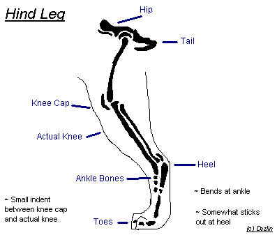 Hind Leg Anatomy by Dezlin
