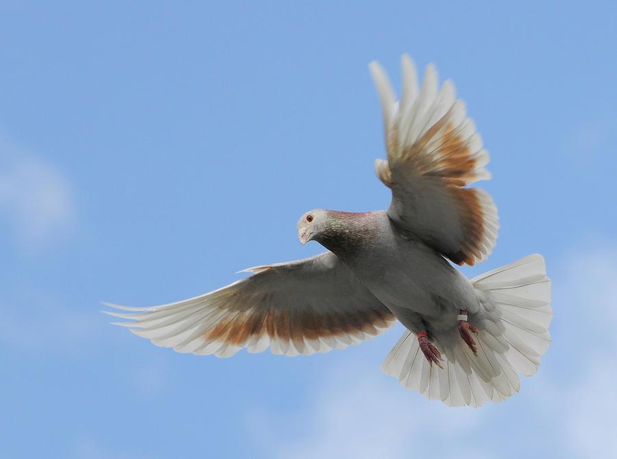 pigeon 1 by Megan1970
