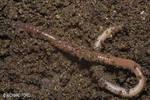 Common Earthworm (Worms)