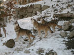 Wolfes in zoo